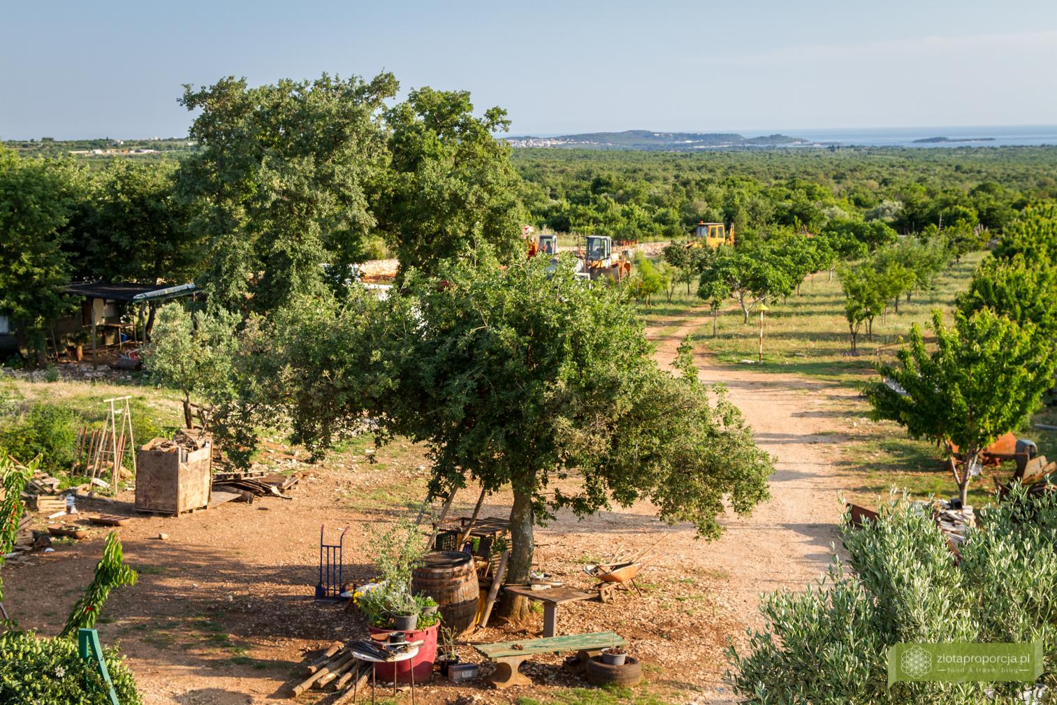 kuchnia chorwacka, kuchnia Istrii, Istria, co zjeść na Istrii, gaj oliwny