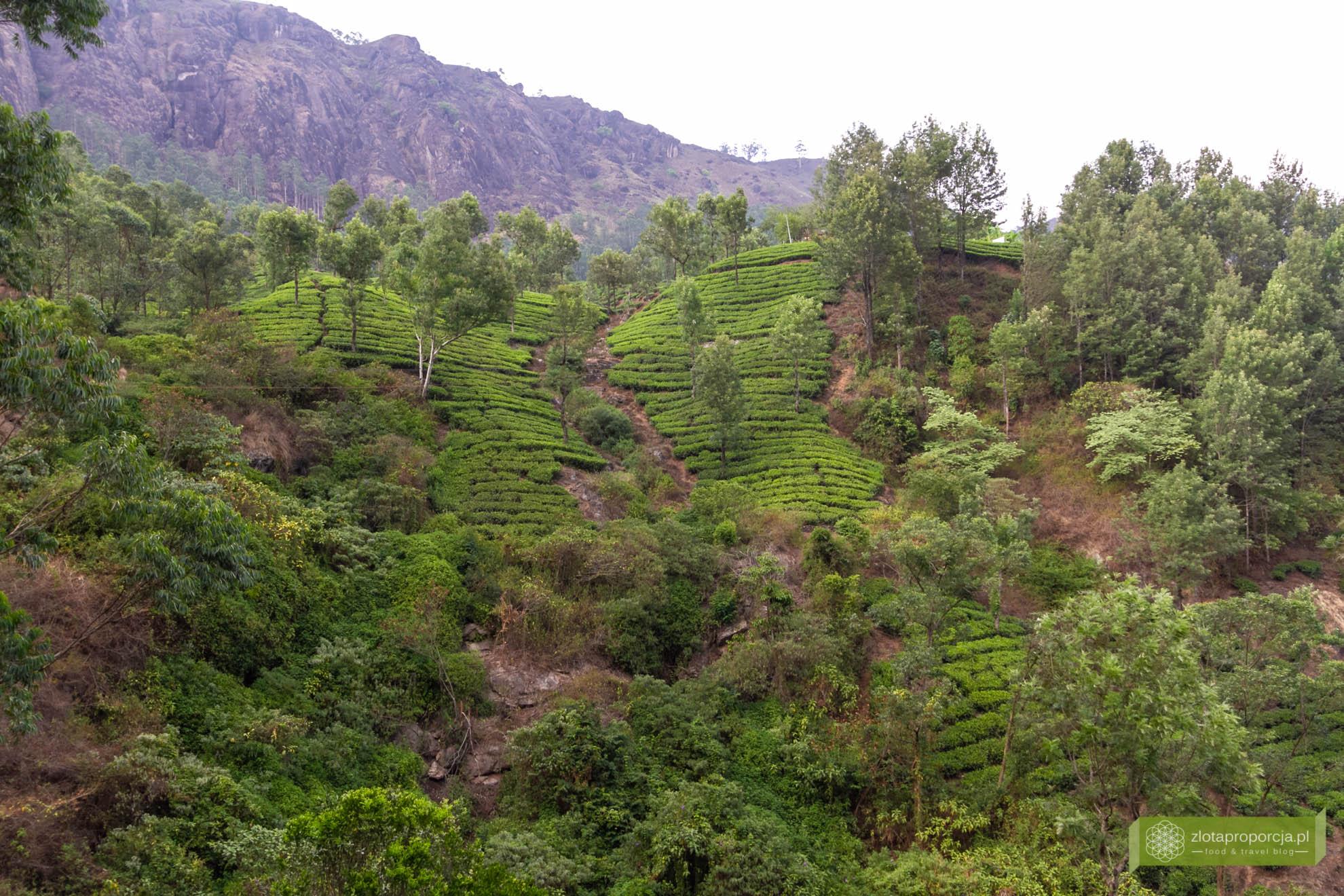 Munnar, Indie, Kerala,; plantacja herbaty, plantacje w Kerali; ciekawe miejsca Kerala, atrakcje Kerala; jak powstaje herbata