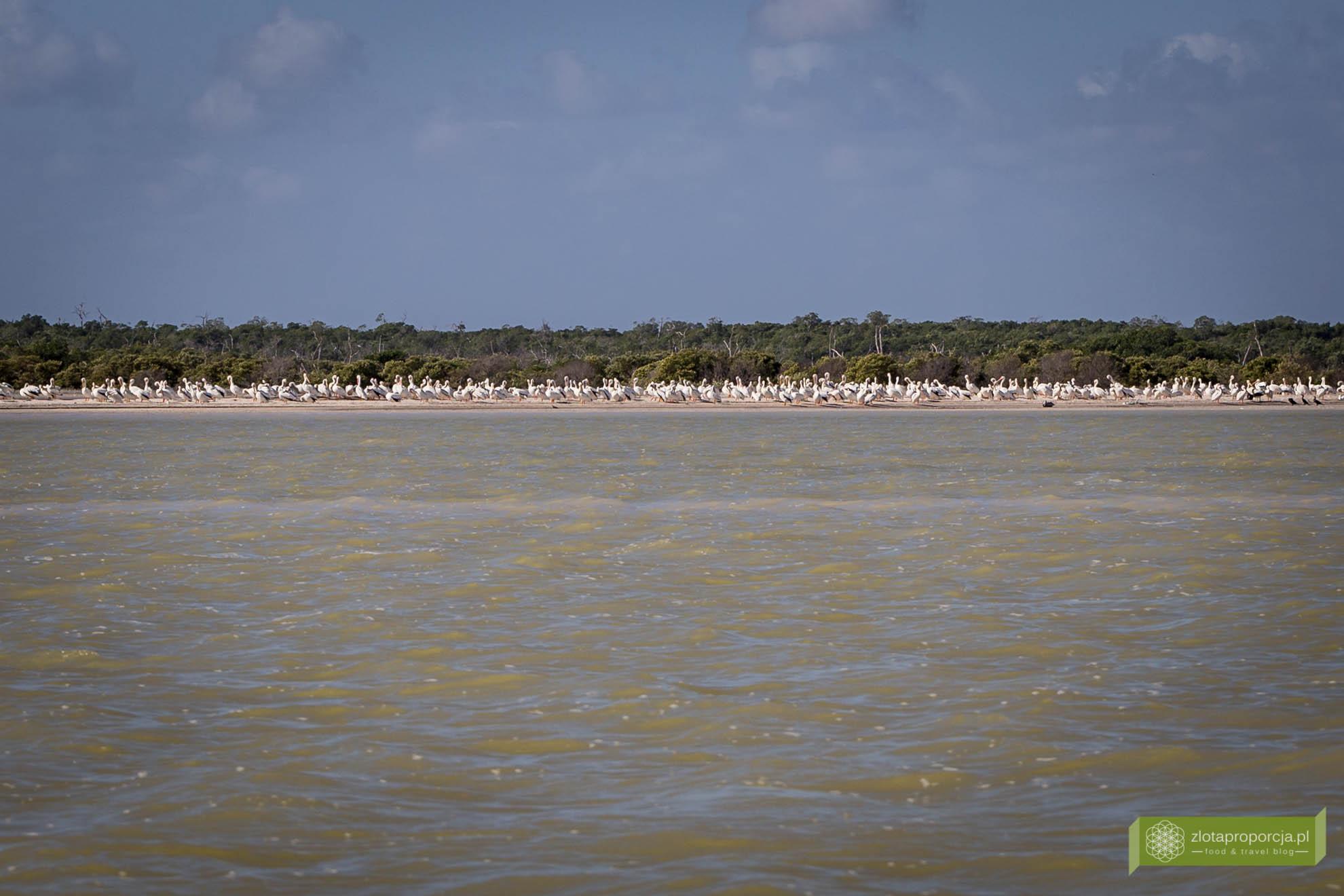 Rio Lagartos, co zobaczyć na Jukatanie, Jukatan, Meksyk, pelikany