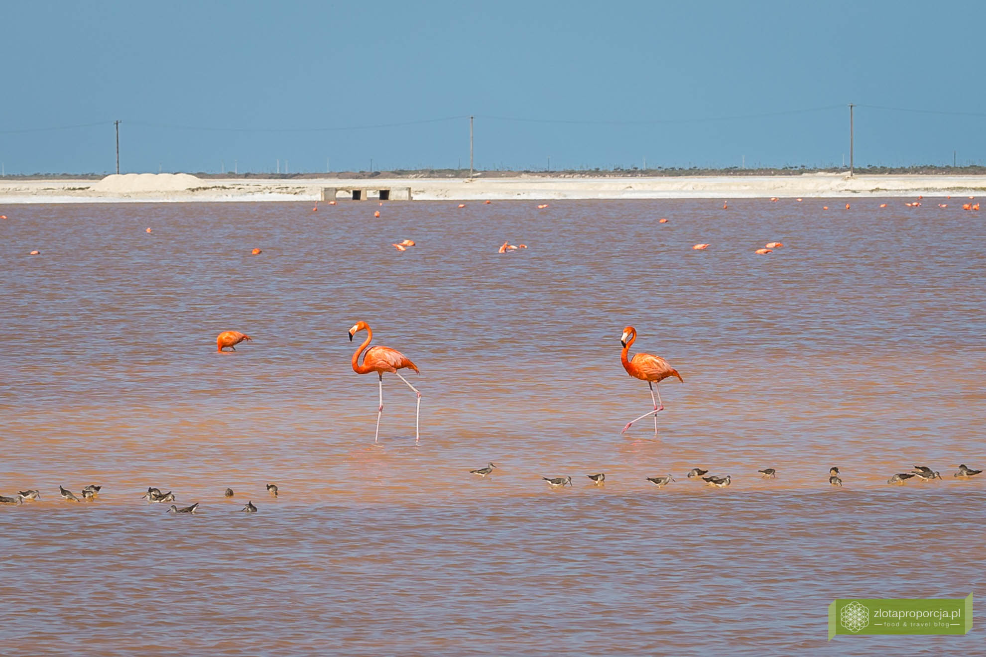 Rio Lagartos, Las Coloradas, różowa laguna w Meksyku, różowe jeziorka, Jukatan, atrakcje Jukatanu, co zobaczyć na Jukatanie; różowe flamingi