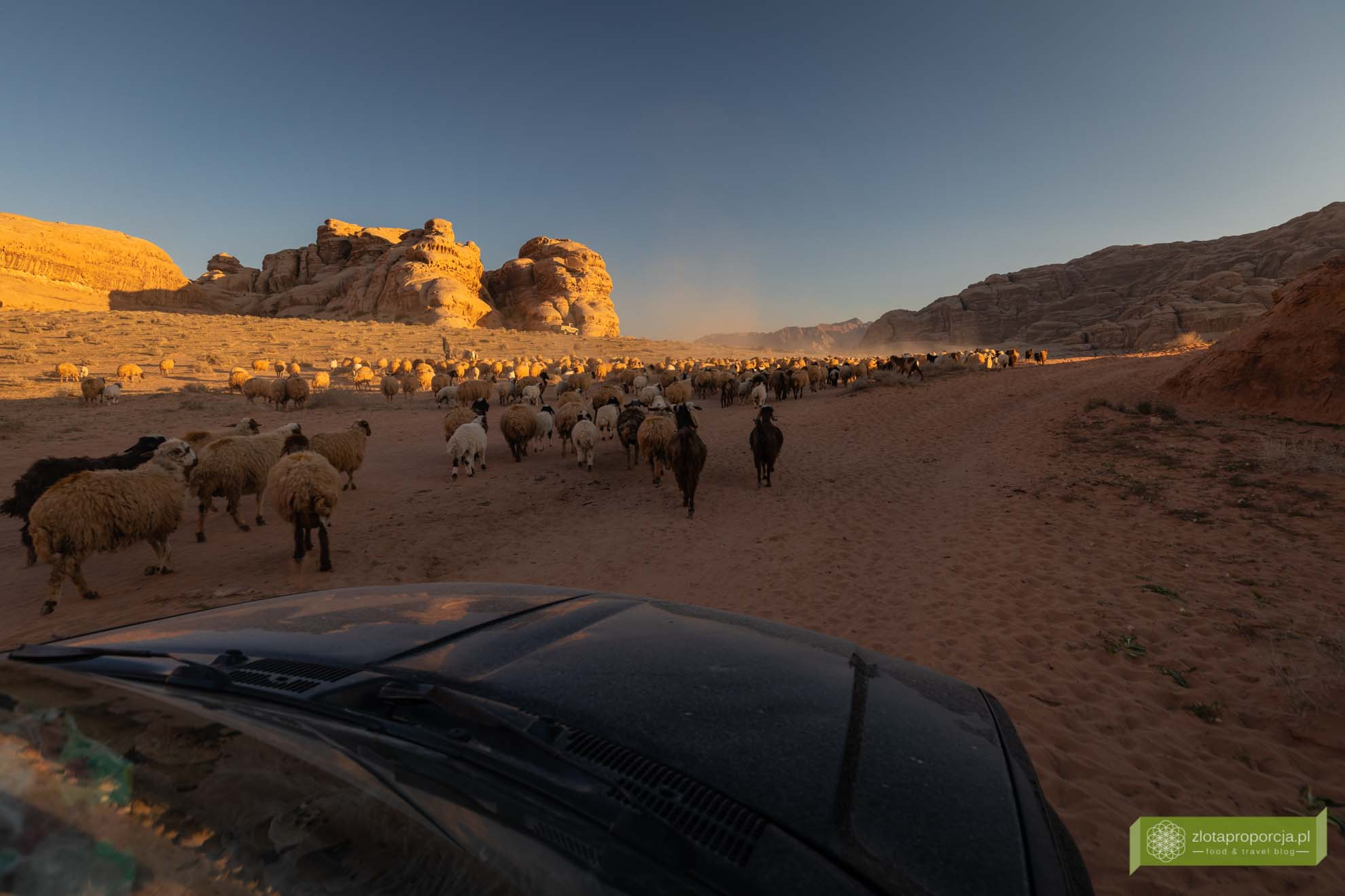 Wadi Rum, pustynia Wadi Rum, Jordania, pustynia Jordania; Wadi rum wycieczka, Wadi Rum zwiedzanie, Jordania atrakcje; owce, stado owiec Wadi Rum;