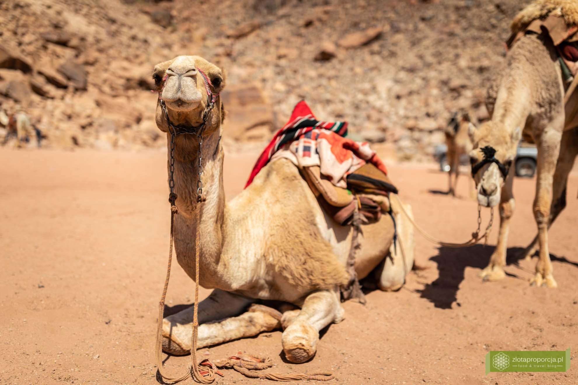 Wadi Rum, pustynia Wadi Rum, Jordania, pustynia Jordania; Wadi rum wycieczka, Wadi Rum zwiedzanie, Jordania atrakcje; wielbłąd;